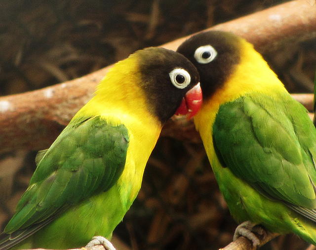 8 Lovely and Unusual Facts About Lovebirds – Project ...
