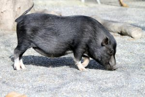 everything you should know about mini pigs
