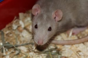 Grey rat.