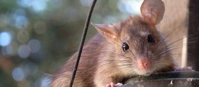 hamsters vs rats