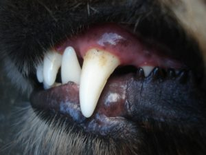 Dog Teeth and Gums